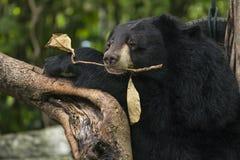 Азиатский черный медведь Стоковое Изображение