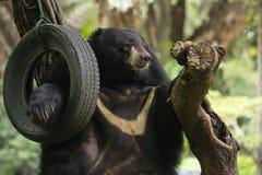 Азиатский черный медведь Стоковое Изображение RF