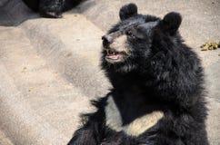 Азиатский черный медведь стоковое фото