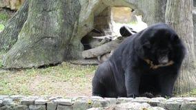 Азиатский черный медведь (thibetanus ursus) видеоматериал