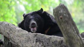 Азиатский черный медведь (thibetanus ursus) акции видеоматериалы