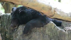 Азиатский черный медведь (thibetanus ursus) сток-видео