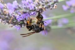 Азиатский шершень убивая пчелу Стоковая Фотография