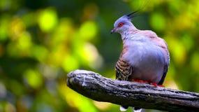 Азиатский crested голубь Стоковая Фотография