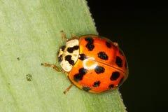 Азиатский ladybug (axyridis Harmonia) Стоковое Фото