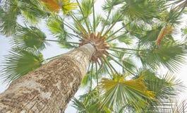 азиатский palmyra ладони Стоковая Фотография