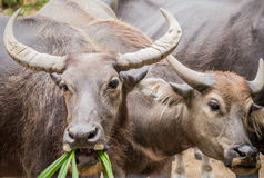 2 азиатских индийского буйвола Стоковая Фотография RF