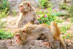2 азиатских обезьяны Стоковая Фотография