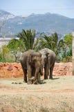 2 азиатских слона в зоопарке Стоковое Изображение RF