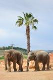 2 азиатских слона в зоопарке Стоковая Фотография RF