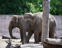 2 азиатских слона в зоопарке Стоковое Изображение