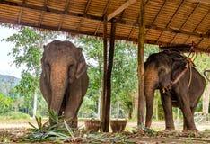 2 азиатских слона есть зеленую траву Стоковая Фотография