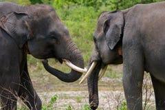 2 азиатских слона играя друг с другом Индонезия sumatra Национальный парк Kambas пути Стоковое фото RF