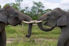 2 азиатских слона играя друг с другом Индонезия sumatra Национальный парк Kambas пути Стоковые Изображения RF