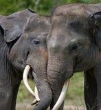 2 азиатских слона играя друг с другом Индонезия sumatra Национальный парк Kambas пути Стоковые Фото