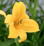 Азиатское графство желтого цвета лилии стоковая фотография