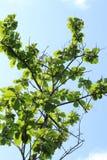 Азиатское зеленое болото Стоковая Фотография RF