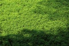 Азиатское зеленое болото Стоковые Изображения RF