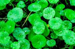Азиатское Pennywort (Centella asiatica), вода Pennywort Стоковое Фото