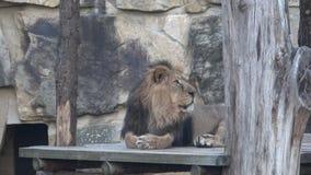 Азиатское persica leo пантеры льва угрожало вида сток-видео
