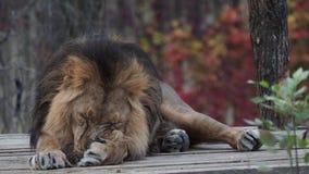 Азиатское persica leo пантеры льва акции видеоматериалы