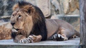 Азиатское persica leo пантеры льва видеоматериал