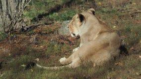 Азиатское persica leo пантеры львицы сток-видео