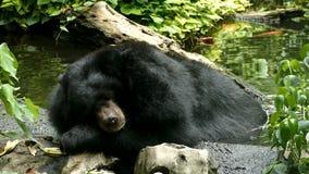 Азиатское thibetanus Ursus черного медведя, гималайский спать черного медведя зевая сток-видео