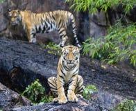 Азиат или тигр Бенгалии стоковое изображение rf