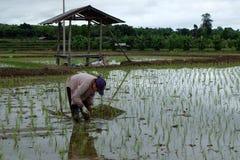 Азиат поля риса Стоковые Фото