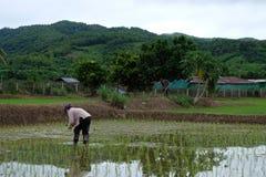 Азиат поля риса Стоковое Изображение RF