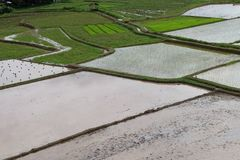Азиат поля риса Стоковая Фотография RF