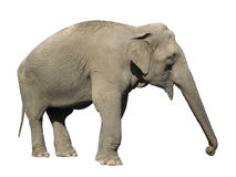 Азиат слона Стоковое Изображение RF