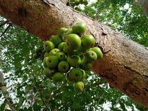 Азиат смоквы стоковые фото