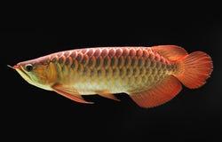азиат arowana стоковые фотографии rf