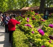 Азия Китай, Пекин, парк холма Jingshan, фестиваль ŒPeony ¼ landscapeï сада весны Стоковое Изображение RF