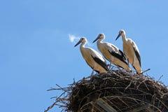 3 аиста в гнезде Стоковое фото RF
