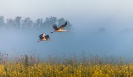 2 аиста летают над полем Стоковая Фотография RF