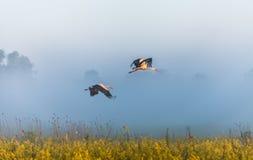 2 аиста летают над полем Стоковое Фото