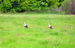 2 аиста идя на зеленое поле Стоковые Изображения RF