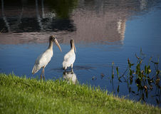 2 аиста младенца на озере в Флориде Стоковая Фотография