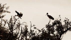 2 аиста на верхней части дерева, одном приземляясь a Стоковая Фотография