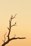 2 аиста садить на насест на дереве Стоковая Фотография