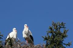 2 аиста строя гнездо стоковые фотографии rf