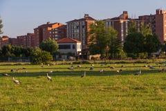 Аисты в луге Outskirts город Стоковые Фотографии RF