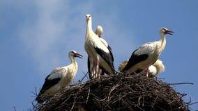Аисты гнездятся на поляке, вложенности семьи птиц, стаде аистов в небе, взгляде природы акции видеоматериалы