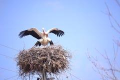 Аисты которые перелётные птицы репортера новостей перелётная птица и весна аистов Стоковое Изображение