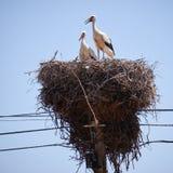 Аисты на гнезде на поляке электричества Стоковые Изображения
