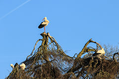 Аисты на дереве стоковые фото