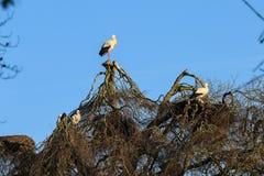 Аисты на дереве стоковая фотография